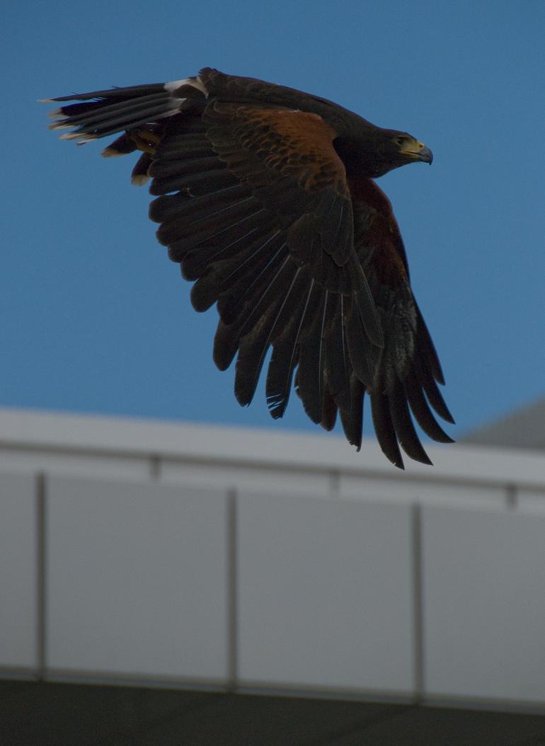 Greifvogel über Messegelände - Photokina 2008